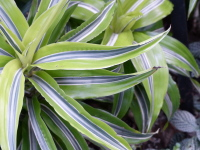 Dracaena reflexa Lam. 'Song of Jamaica'