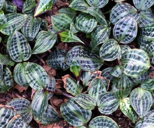 Geogenanthus poeppigii (Miq.) Faden