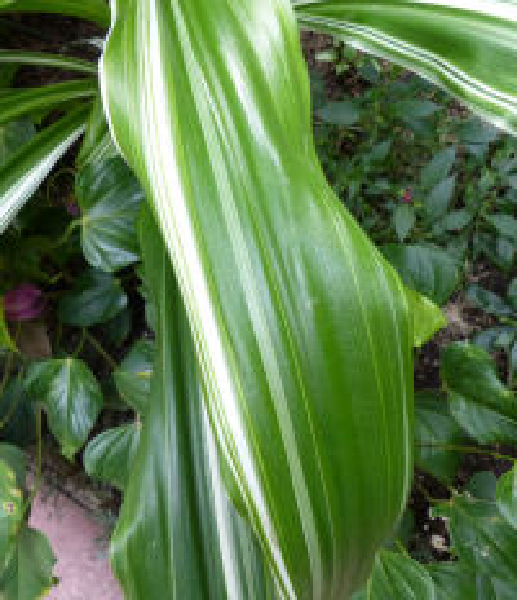 Crinum asiaticum L. 'Variegatum'