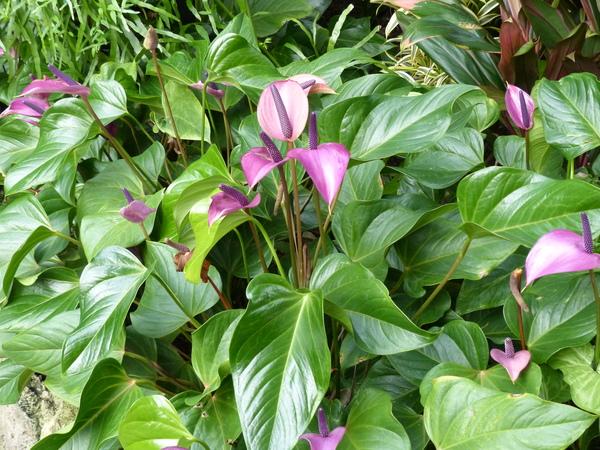 Anthurium 'Miss June Purple'