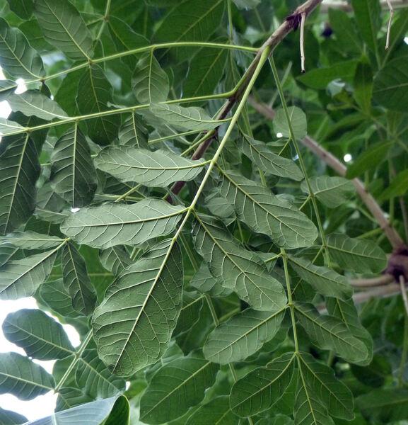 Kigelia africana (Lam.) Benth.