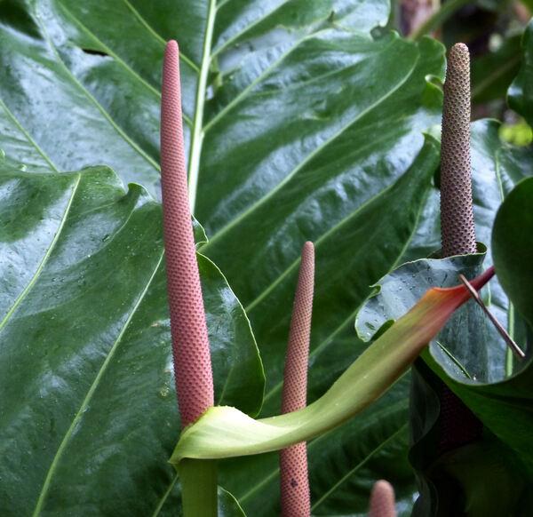 Anthurium hookeri Kunth 'Ruffles'