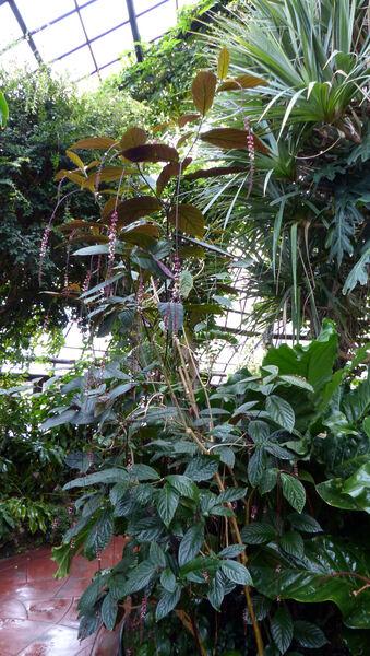 Trichostigma peruvianum (Moq.) H. Walter
