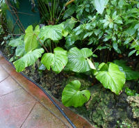 Philodendron gloriosum André