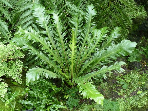 Asplenium nidus L. 'Fimbriatus'