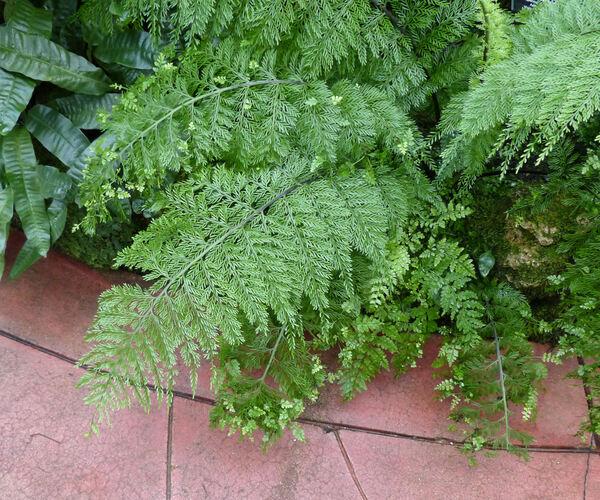 Asplenium daucifolium Lam.
