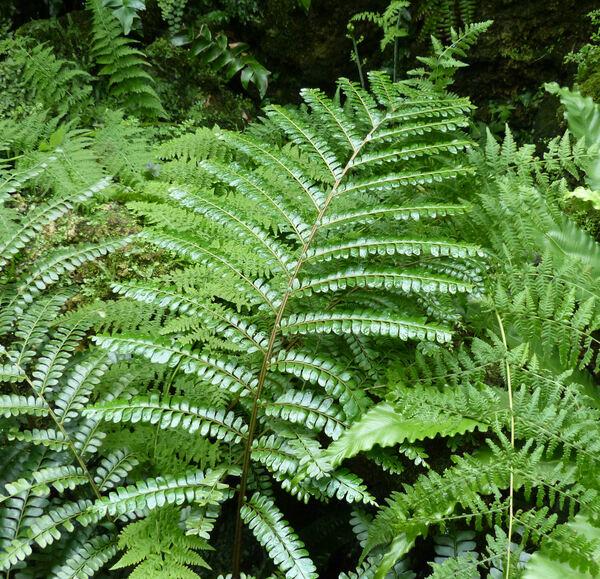 Didymochlaena truncatula (Sw.) J. Sm.