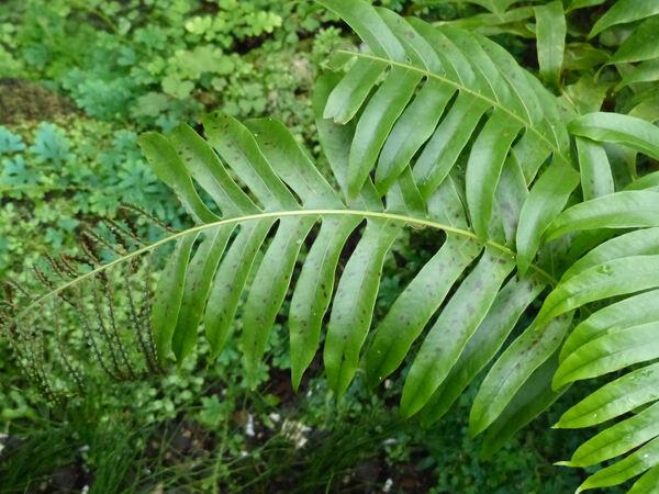 Aglaomorpha meyeniana Schott