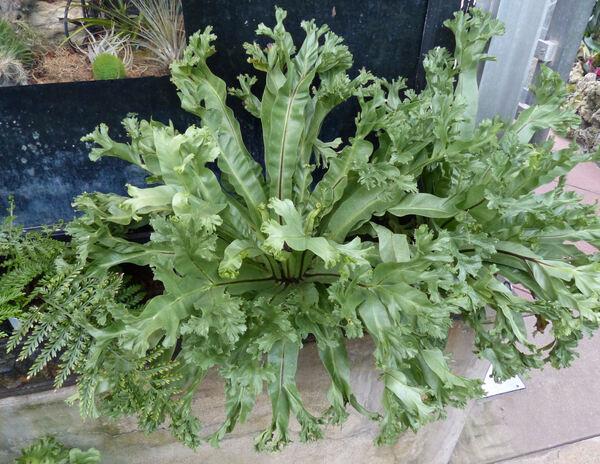 Asplenium nidus L. 'Leslie'