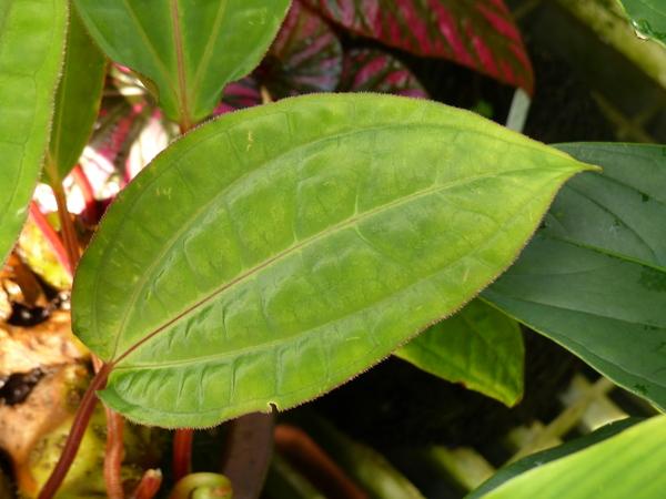 Monolena primuliflora Hook. f.
