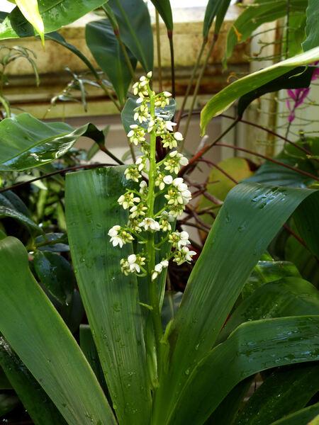 Xiphidium caeruleum Aubl.