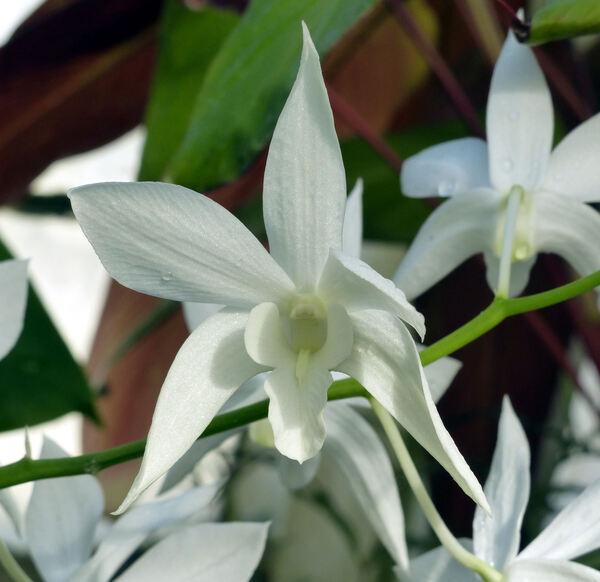 Dendrobium 'White Grace Sato'