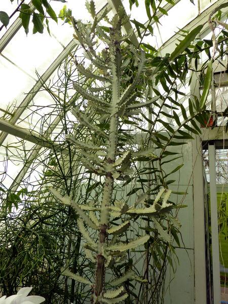 Euphorbia lactea Haw. 'Variegata'