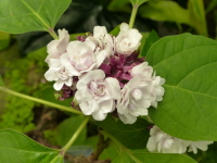Clerodendrum chinense (Osbeck) Mabb.