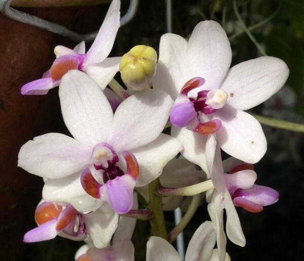 Doritaenopsis 'Maui Galaxy CAO3 x Doritis pulcherrima CA'