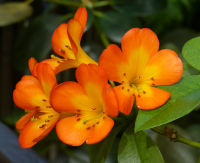 Rhododendron sect. Vireya