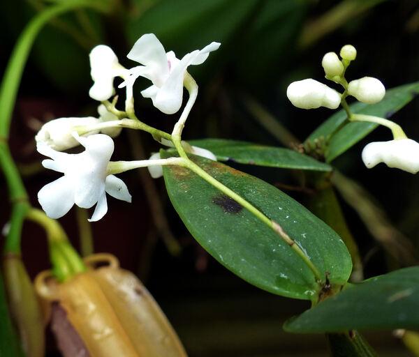 Dendrobium aberrans Schltr.