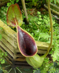 Nepenthes lowii Hook.f.