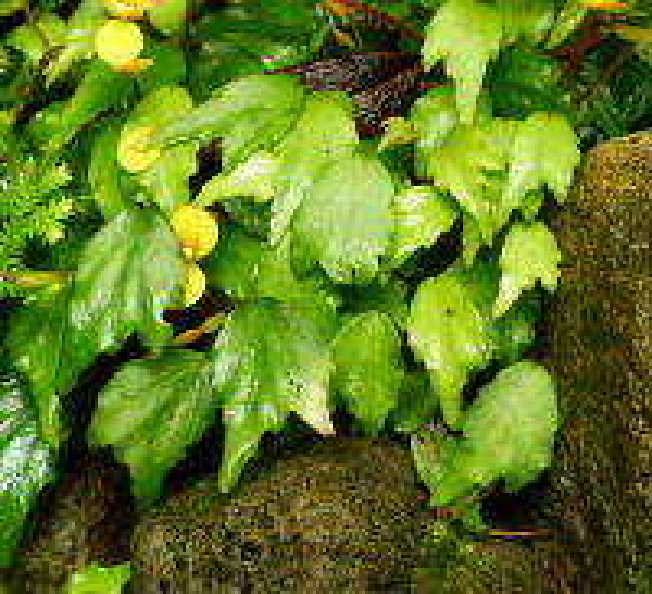 Begonia prismatocarpa Hook.