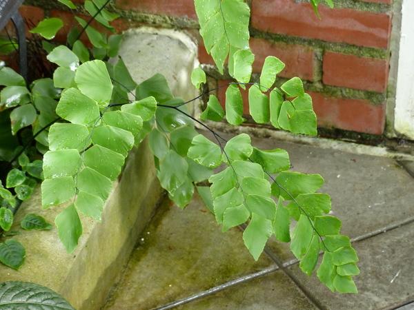 Adiantum peruvianum Klotzsch