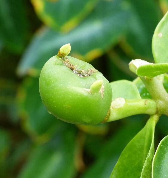 Pereskia grandifolia Haw.
