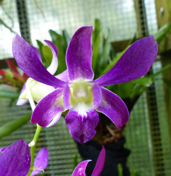 Dendrobium 'Blue Violetta'