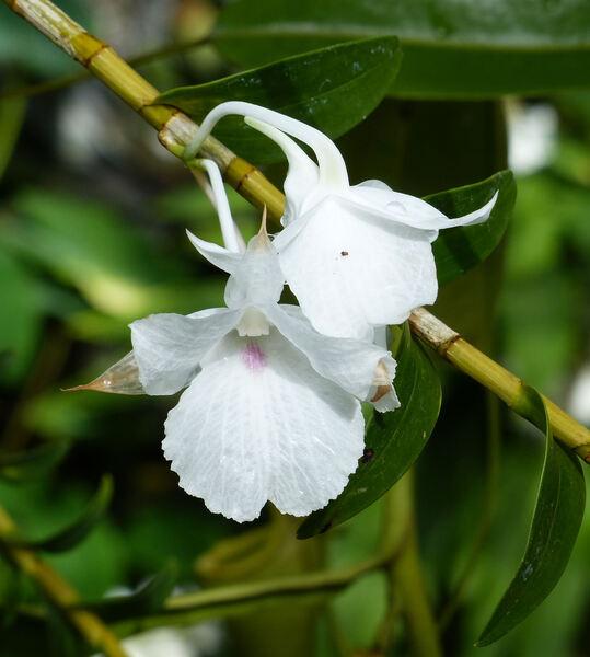 Dendrobium parthenium Rchb.f.