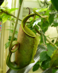 Nepenthes bicalcarata Hook.f.