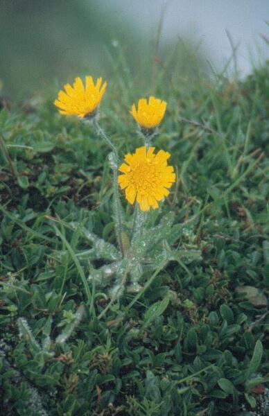 Hieracium pilosum Schleich. ex Froel.
