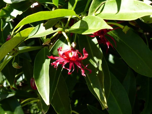Illicium 'Woodland Ruby'