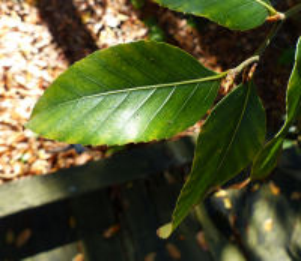 Nothofagus moorei (F. Muell.) Krasser