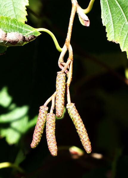 Alnus hirsuta (Spach) Turcz. ex Rupr.