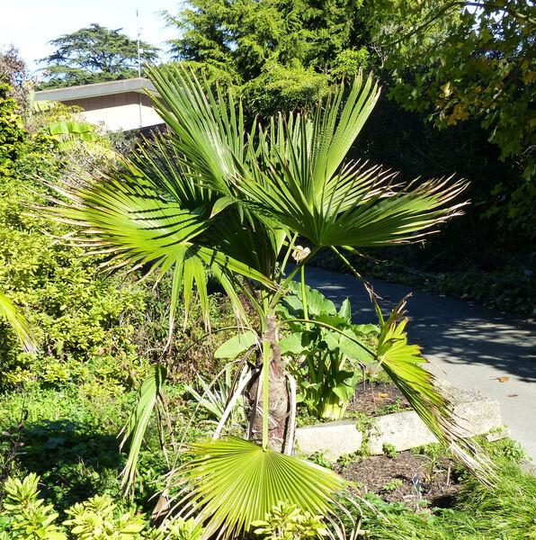 Trachycarpus latisectus T.W.Spanner, H.J.Noltie & M.Gibbons