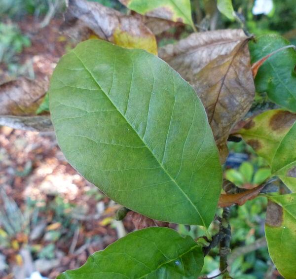 Magnolia x kewensis hort. 'Wada's Memory'