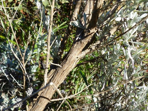 Artemisia tridentata Nutt.