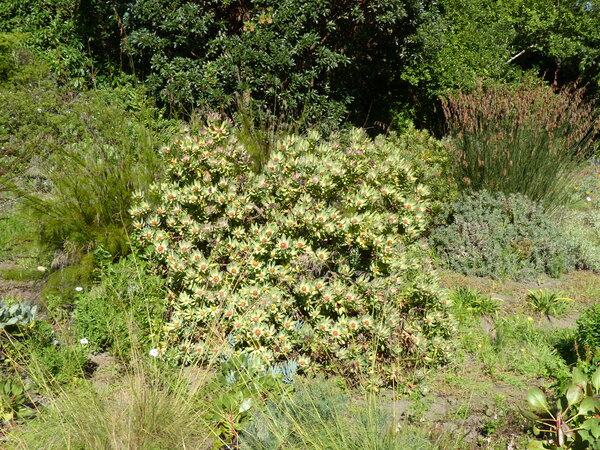 Leucadendron tinctum I.J. Williams