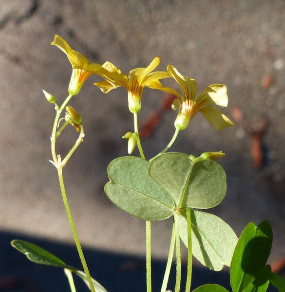Oxalis spiralis G. Don subsp. vulcanicola (G. Don) Lourteig