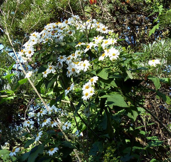 Montanoa grandiflora Alamán ex DC.
