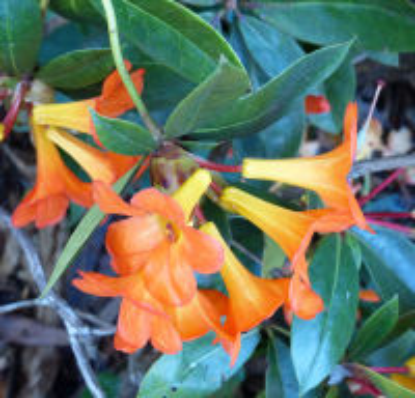 Rhododendron 'Souvenir J.O H.N. Mangles x Laetum'