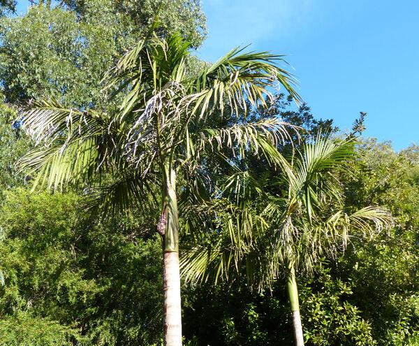 Archontophoenix cunninghamii H.Wendl. & Drude 'Illawarra'