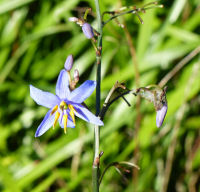 Dianella revoluta R. Brown