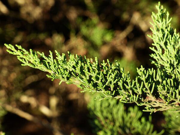 Hesperocyparis macrocarpa (Hartw. ex Gordon) Bartel