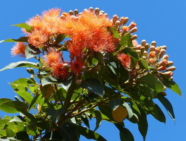 Corymbia ficifolia (F. Muell.) K.D. Hill & L.A.S. Johnson