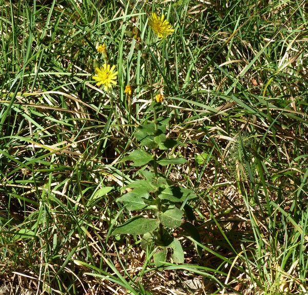 Hieracium racemosum Waldst. & Kit. ex Willd.