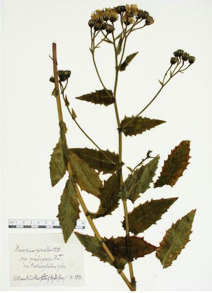 Hieracium picroides Vill.