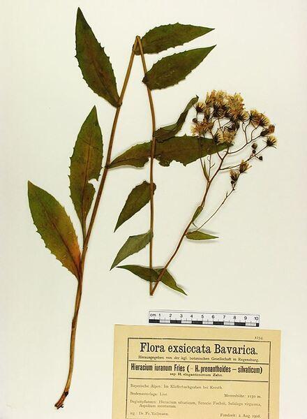 Hieracium jurassicum Griseb.