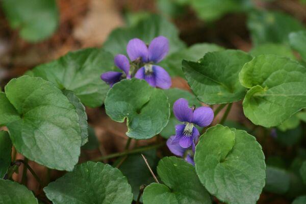 Viola cucullata Aiton