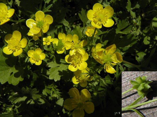 Ranunculus marginatus d'Urv.