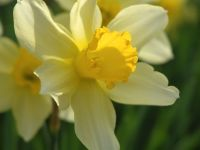 Narcissus ×incomparabilis Mill.