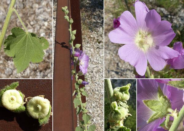 Alcea biennis Winterl subsp. biennis